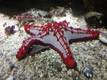 Starfish rubbing the floor