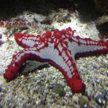 Starfish rubbing the floor