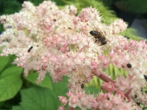 The same bee, still looking very busy