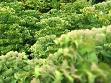 Countless little green flowers