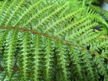 Close-up of a fern leaf. Spores on the bottom of the small leaves are clearly visible.