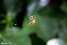 Wrapping that mosquito in some spider silk...
