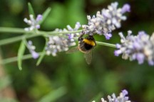 A bumblebee being very busy with the lavender