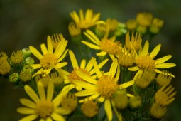 Droplets on yellow flowers