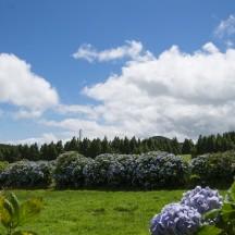 Hortensia's near Sete Cidades