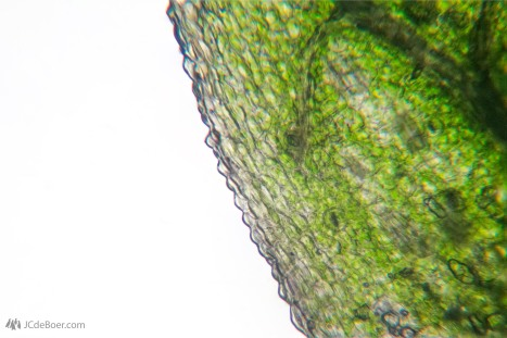 Leaf of a Brassia orchid. This is a stack of photos taken with different regions in focus.