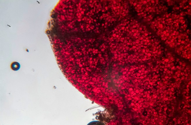 Red leaf of a begonia through the microscope