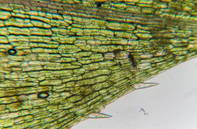 Waterweeds trough the microscope